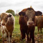 Transporte de gado entre Estados não recolhe ICMS